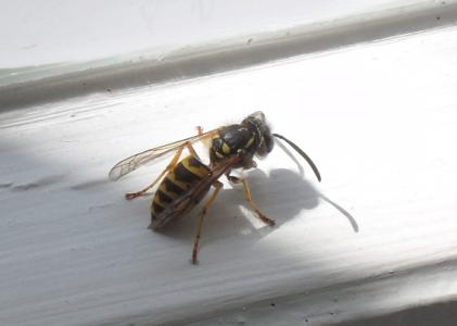 Ich züchte neuerdings Wespen..