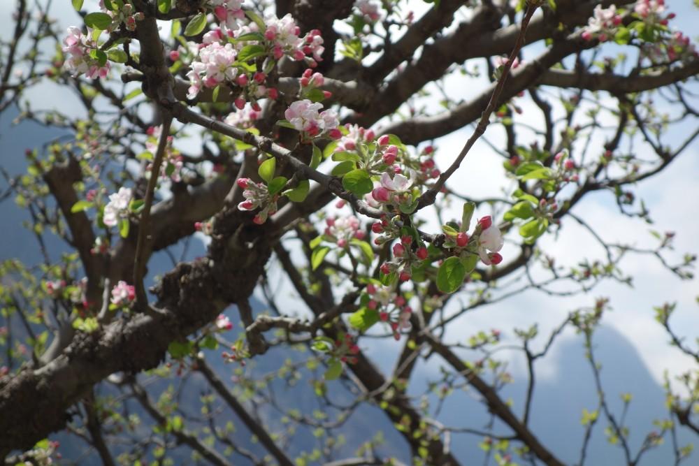 Apfelbäume in Marpha