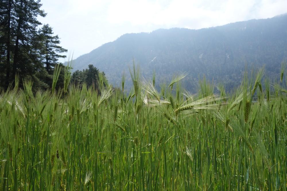 Saftig grüne Kornfelder auf dem Weg nach Ghasa