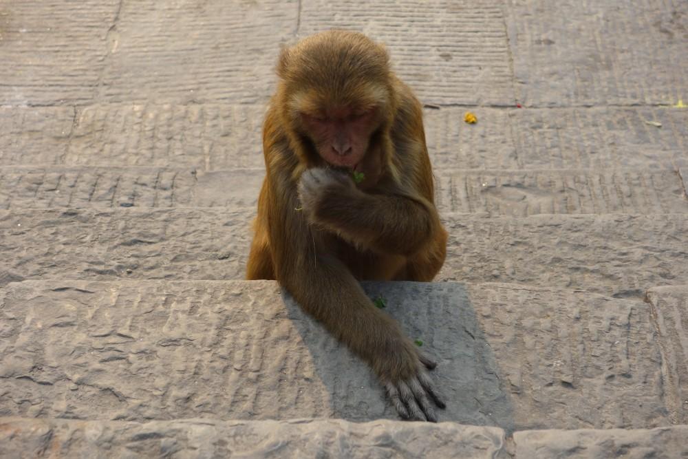 Affe beim Pashupatinath Tempel :D