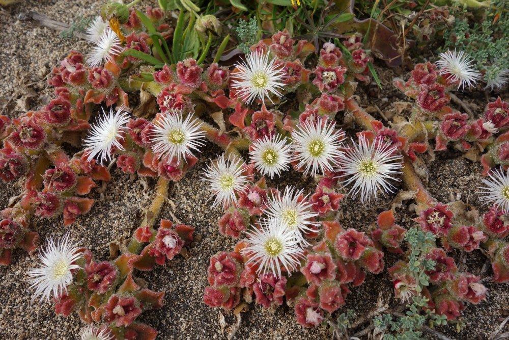 Blumenvielfalt auf Ponta de São Lourenço